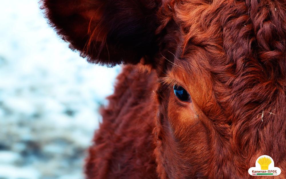 кормление коров